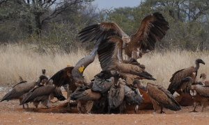 5 White-backed vultures at a carcass (note the yellow wing tags)