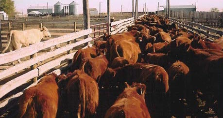 cattle-pen